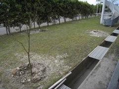 柚子の木を植樹しましたの画像