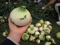 2013.3.29たまねぎ収穫 008